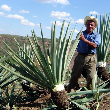 agave, carta d'agave, agave coltivazione, coltivazione sostenibile agave, sviluppo sostenibile, sviluppo sostenibile agave