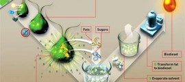 alghe_biocarburanti_biodiesel_biofuel_algae_produrre_biocarburanti_alga_livefuels_solazyme_5