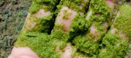 alghe_biocarburanti_dalle_alghe_biodiesel_dalle_alghe_biofuel_assorbimento_co2_assorbire_co2_assorbimento_co2_alghe_1