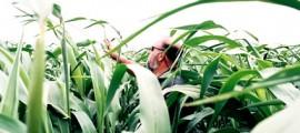 sorgo_dolce_sorgo_etanolo_biocarburanti_bio_carburanti_etanolo_sorgo_dolce_usa_india_sorgo_dolce_5