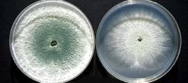 tricoderma_reesei_trichoderma_fungo_etanolo_produrre_produzione_biocarburanti_biocombustibili_biodiesel_etanolo_mais_2