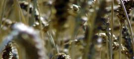 agricoltura_biodinamica_franco_pedrini_san_cristoforo_agricoltura_biodinamica_metodo_biodinamico_compostaggio_biodinamico_franco_pedrini_san_cristoforo_agricoltura_biodinamica_1