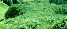 kudzu_etanolo_kudzu_biocarburante_kudzu_pianta_infestante_kudzu_bioenergetica_kudzu_coltivazione_kudzu_fibre_tessili_kudzu_3