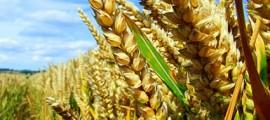 ogm_sperimentazioni_colture_geneticamente_modificate_ogm_1