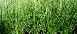 vetiver_agricoltura_open_source_vetiver_agricoltura_sostenibile_vetiver_biomassa_co2_vetiver_carbonio_4