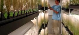 ogm_colture_genet_ogm_agricoltura_ogm_organismi_geneticamente_modificati_grano_mais_soia_biocarburanti_ogm_coltivazioni_ogm_6