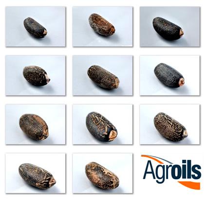 agroils_jatropha_curcas_agroils_jatropha_biocarburante_da_jatropha_curcas_agroils_biodiesel_sostenibile_jatropha_8