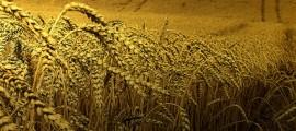 mais_ogm_lieviti_ogm_etanolo_zuccheri_etanolo_biomassa_etanolo_cambiamento_climatico_3