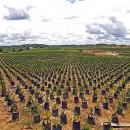 olio_di_palma_biocarburante_olio_di_palma_olio_friggere_olio_di_palma_indonesia_olio_di_palma_6