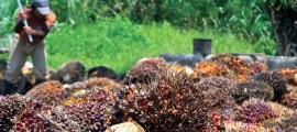 olio di palma, olio di palma norvegia, norvegia olio di palma