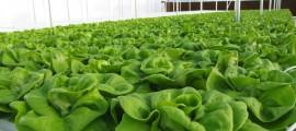 agricoltura idroponica