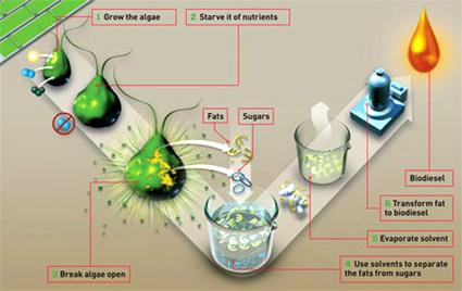 produzione biocarburante, produzione biodiesel, alga