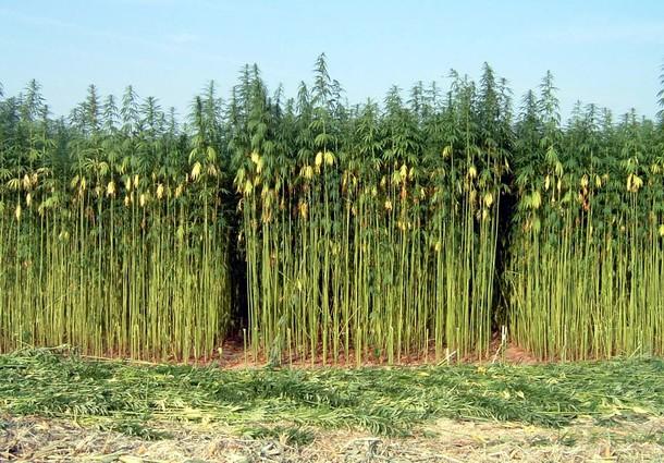 canapa, coltivazione canapa, canapa capannori