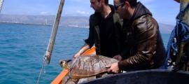 500 Tartarughe Marine salvate a Manfredonia