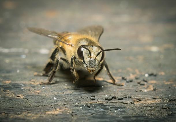 Lo studio del comportamento delle api in aiuto alle smart grids