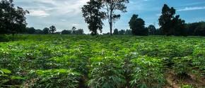 Thailandia: l'Energia arriva dalla Tapioca